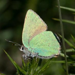 Butterfly Sightings near Bystock