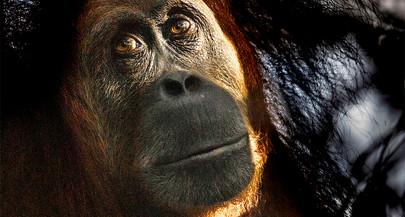 Photographing Wild Orangutans