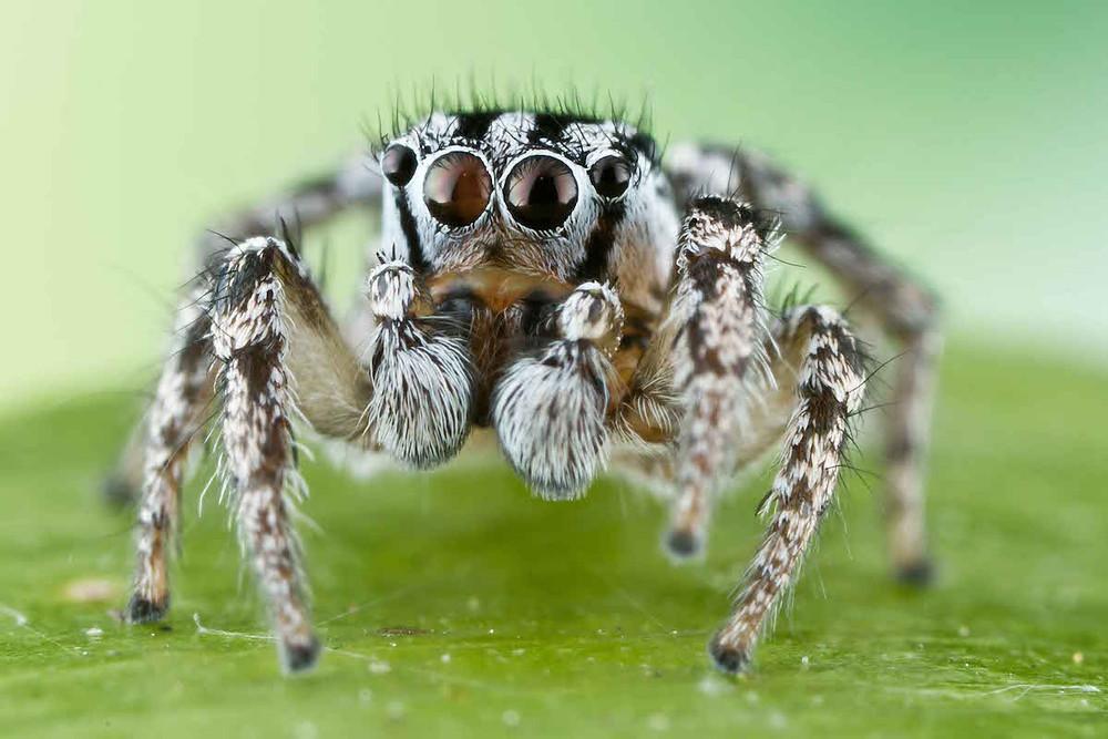 H. trimaculatus. Credit: Colin Hutton