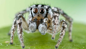 Jumping Spiders (Salticidae)
