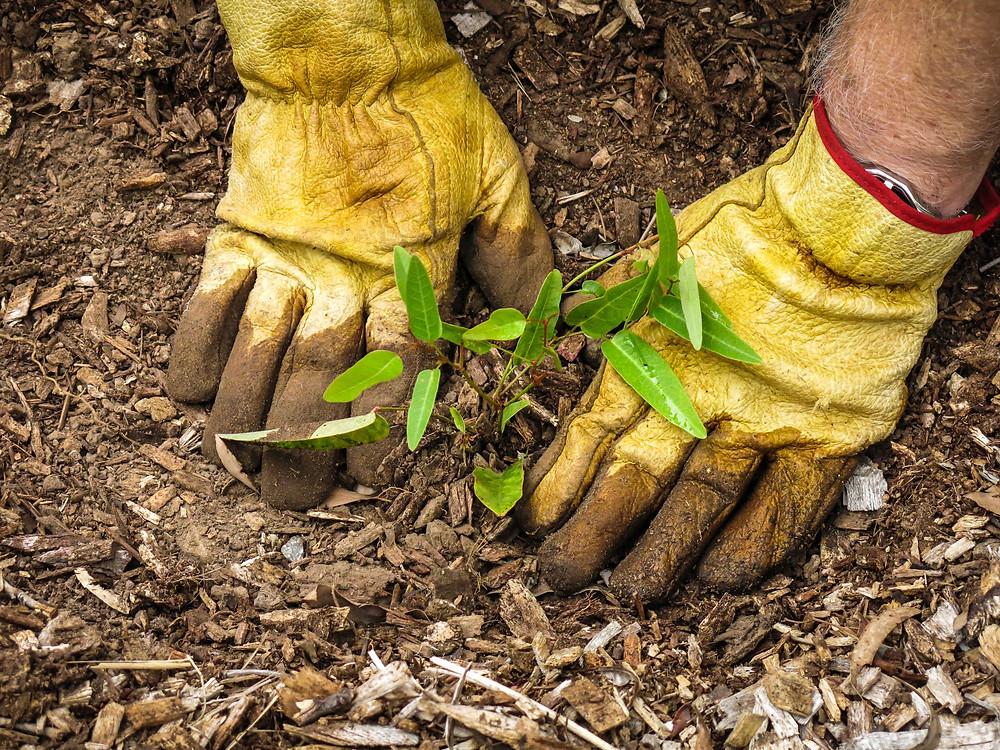plantation d'arbre ,