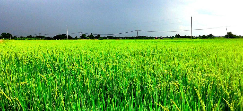 Vietnam rice farm - Vietnam rice export