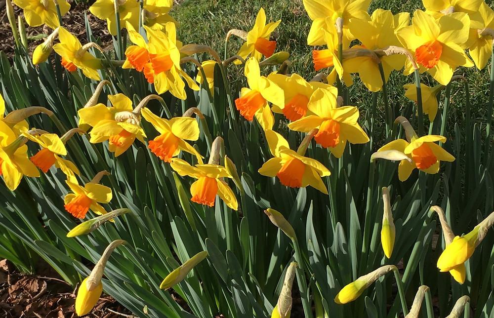 daffodil narcissus Brackenhurst