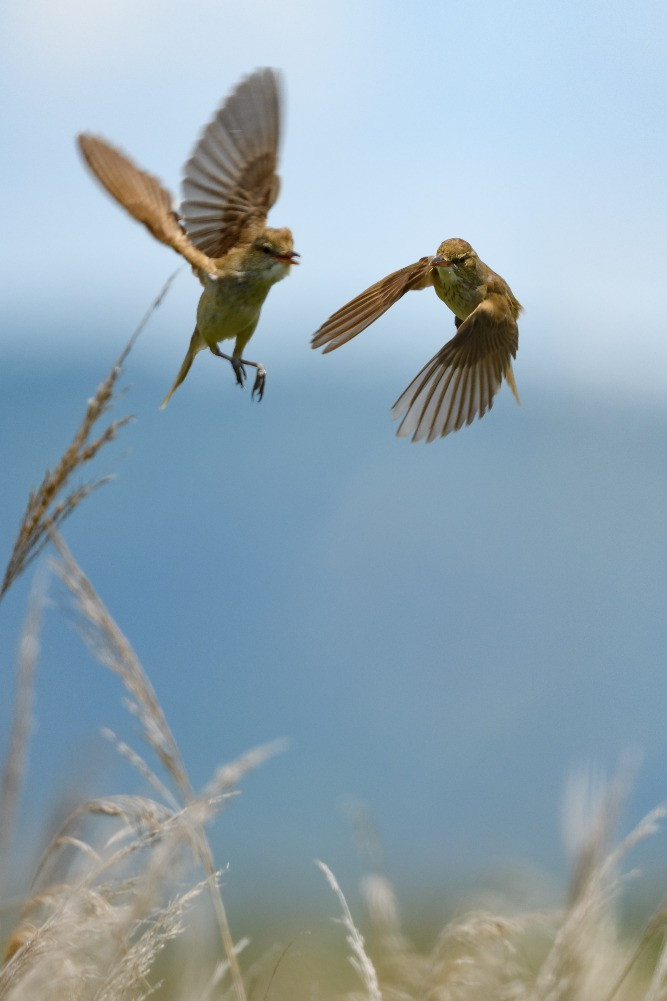 縄張り争いをするオオヨシキリ / Oriental reed warblers fighting over their territory