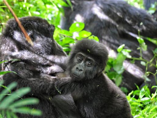 Mountain gorilla population now over one thousand.