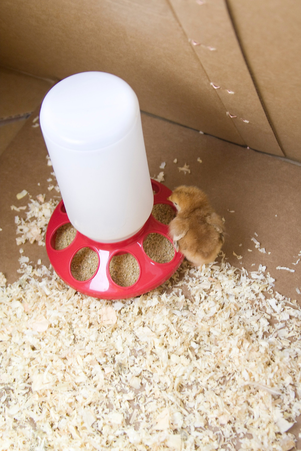 Plastic 1 quart chick feeder in a brooder