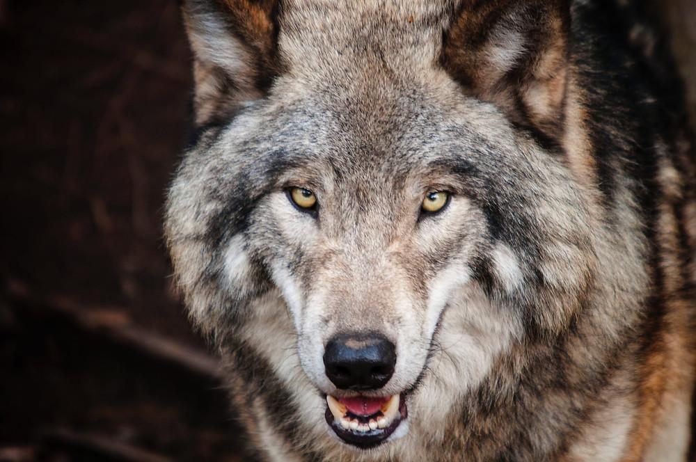 lobos disfrazados de cordero