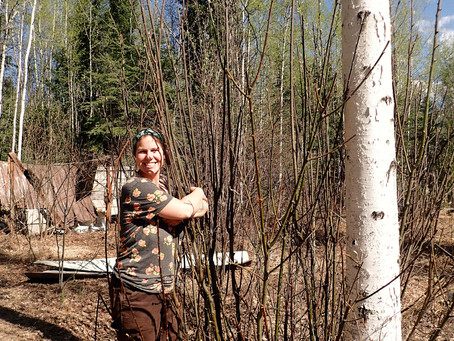 Herb Spotlight: Traditional Uses of Willow Bark