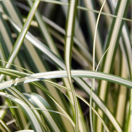 Top 10 des plantes pour terrains arides : les graminées
