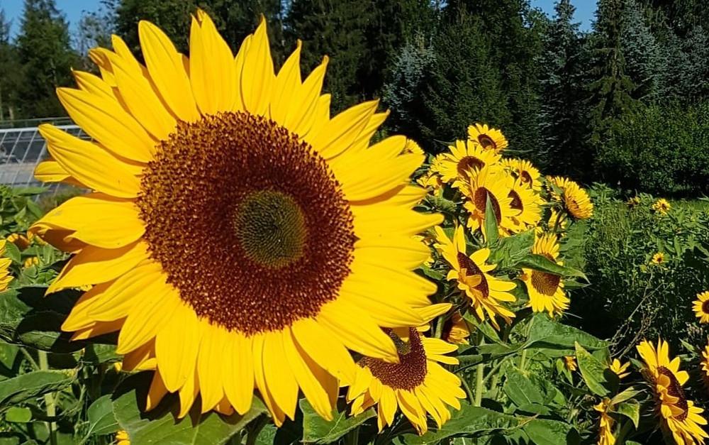 Tobelhofstrasse 209 Zürich, Sonnenblumen, Blumenfeld zum selberschneiden