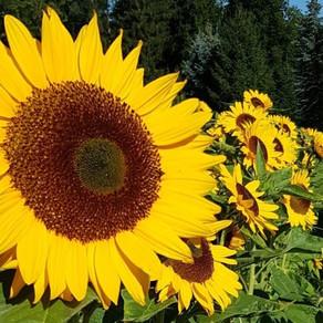 Sonnenblumen und Dahlien vom Blumenfeld