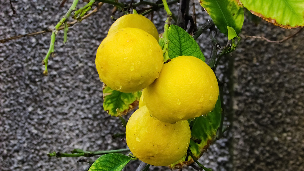 Ripe Key limes hanging on a branch