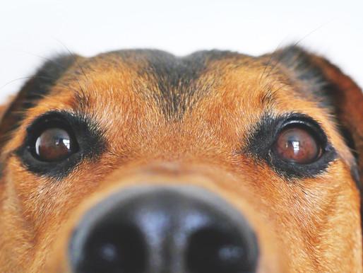 Infecções oculares em cães e gatos