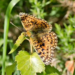 Butterfly at Withycombe Raleigh Common