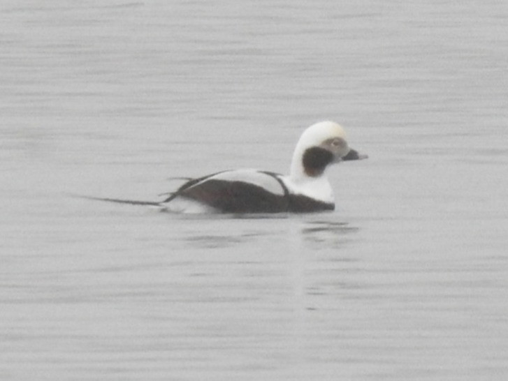 Winter-plumaged male Long-tailed Duck