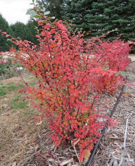 Red-leaved shrub in the landscape.