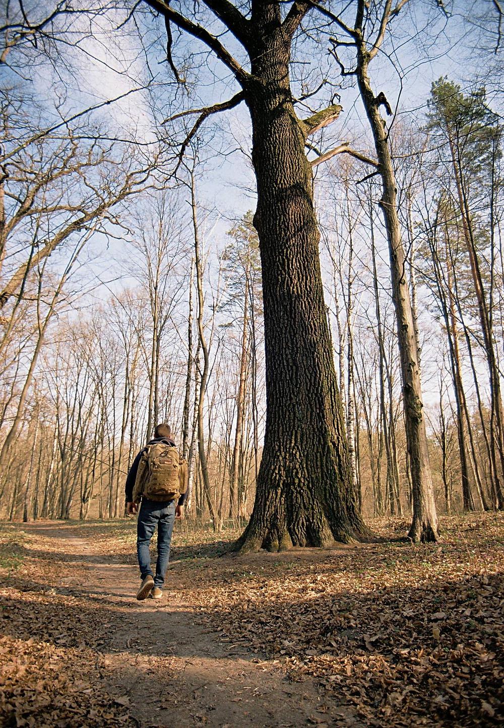 дуб природа денеши многовековой лес природа