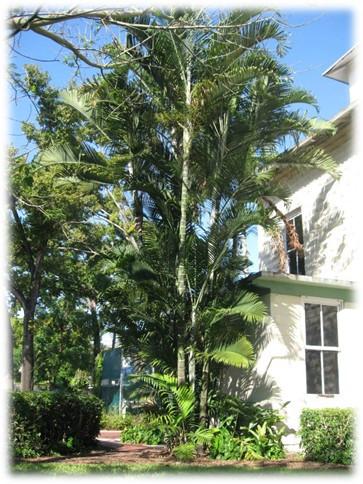 Beautitful multi-trunked Cabadae Palm specimen, Miami, FL