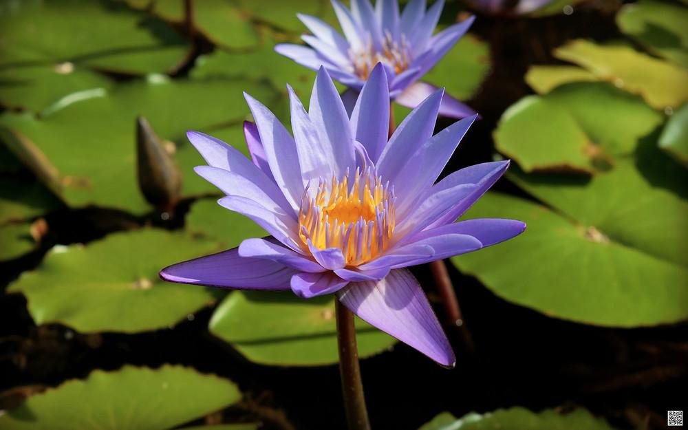 bengal flower photo online bengali magazine