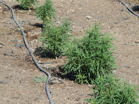 Seed Grown vs. Clone