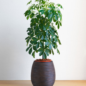 نبات الشفليرا