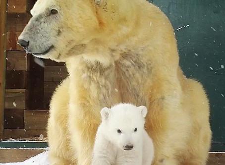 Polar Bear Cub News