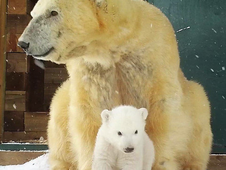 Polar Bear Cub News