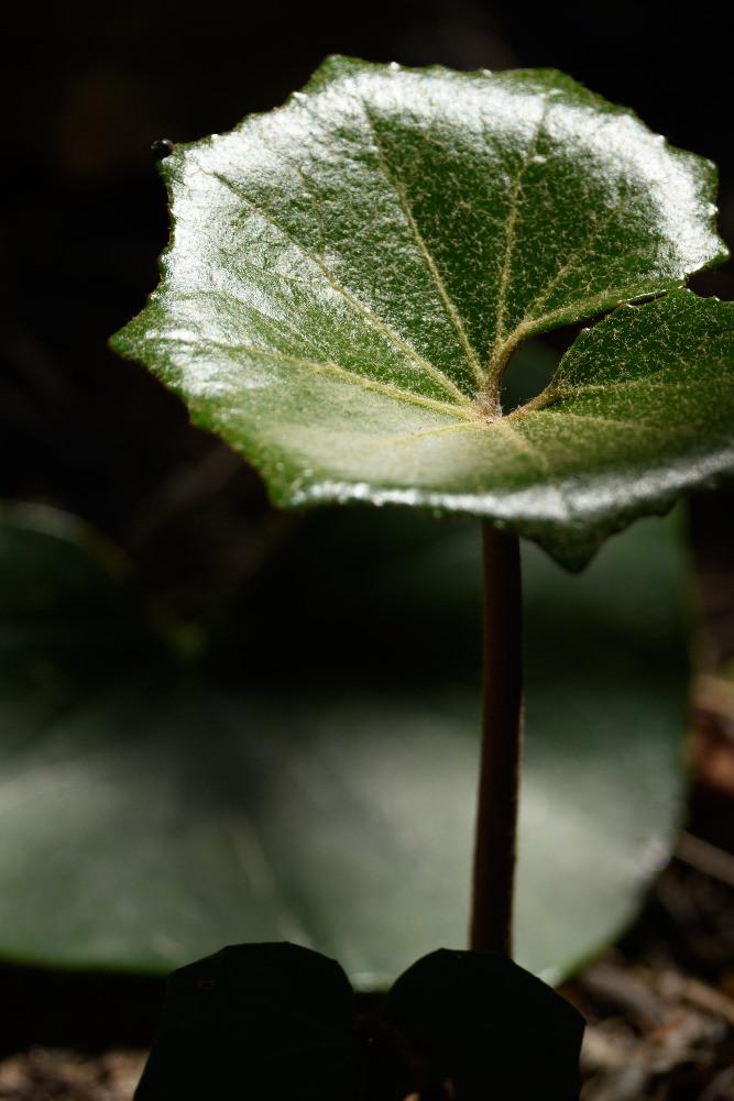 光を強く反射する葉 / A leaf reflecting hard light