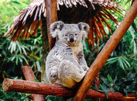 Introducing Koala Week!
