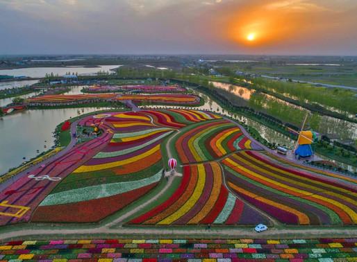 Les champs de Tulipes aux Pays Bas (Hollande)