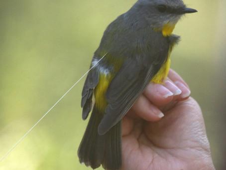 New Collaboration: Do small birds use torpor?