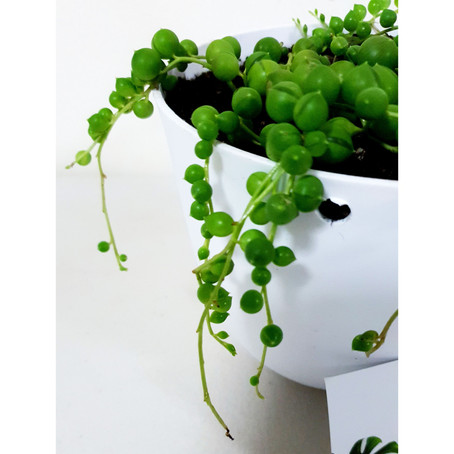 How to grow and care String of Pearls