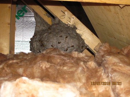 Biggish wasp nest for the time of year