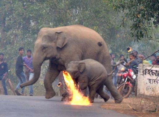 Elephants Firebombed