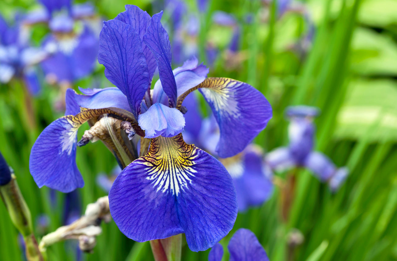 The iris flower did you know that the iris flower is often used to represent hope it is also a very diverse flower blooming in many different colors with petals of izmirmasajfo