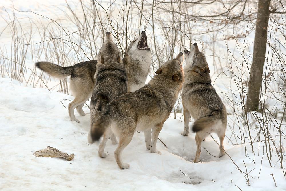 loups en allemagne loups en ville débat politique bétail attaqué écologistes fermiers