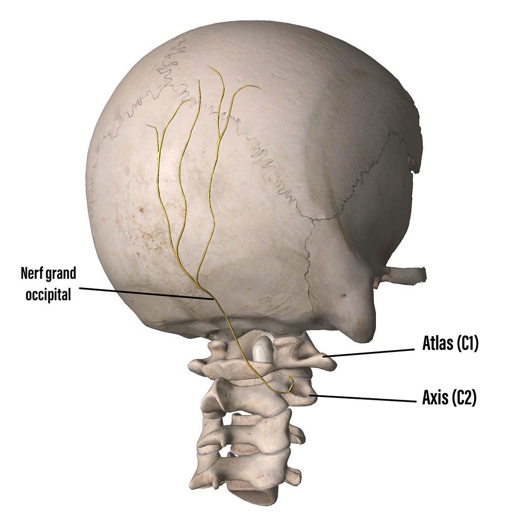 Schema du nerf d'Arnold