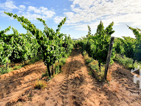 O início do pintor, o desconfinamento para a vindima e a liberdade do vinho novo