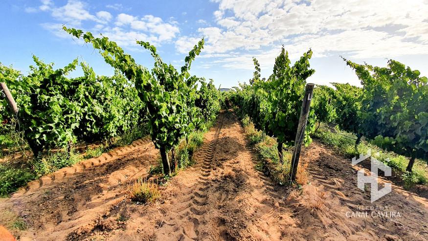 Strong Vineyards.jpg