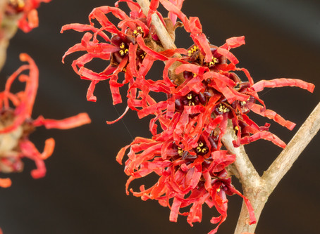 Plant of the Month: Hamamelis x intermedia 'Diane'