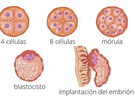 ¿Qué es un blastocisto?