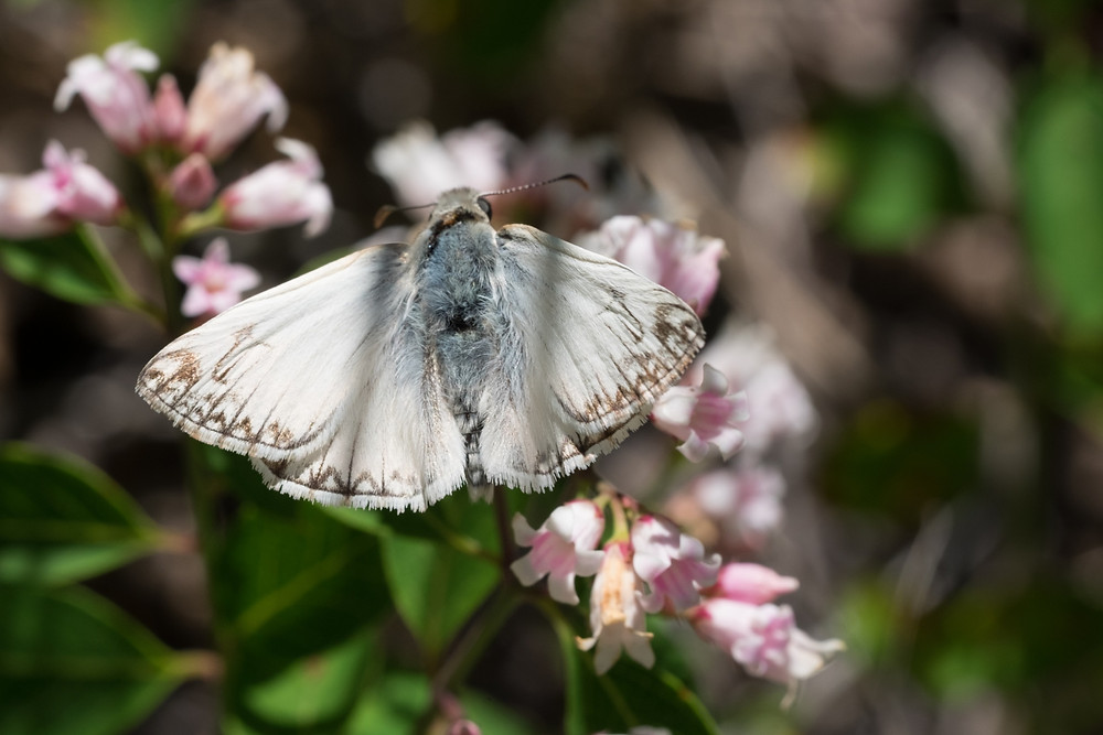Close-up photo of Northern White Skipper.