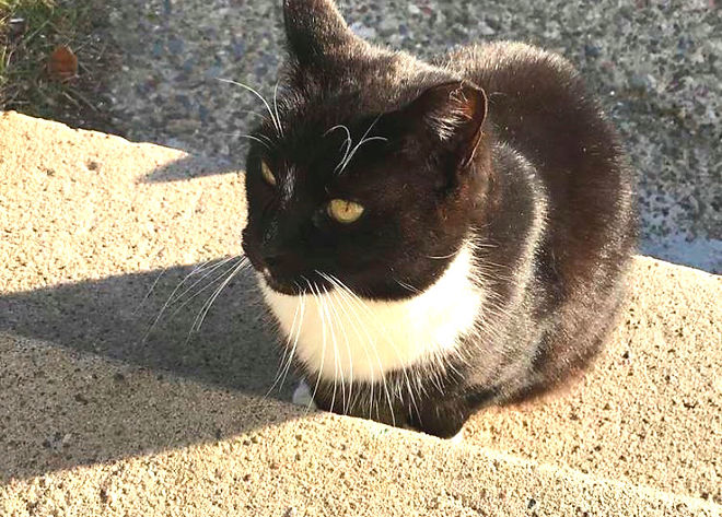 Image of a black and white tuxedo cat. Her left ear has the tip snipped off to indicate she is feral.