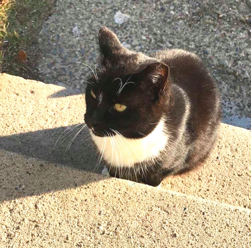 Black and white tuxedo cat, sitting on outdoor stairs.