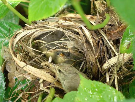 두견이와 상생하는 섬휘파람새