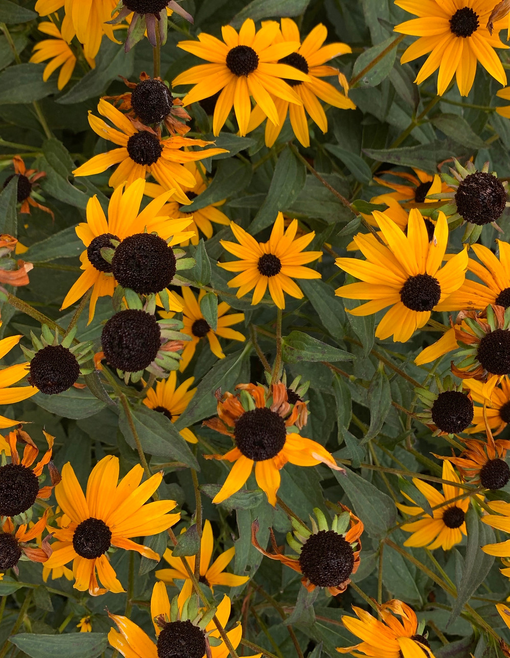 Blooming Black-Eyed Susans