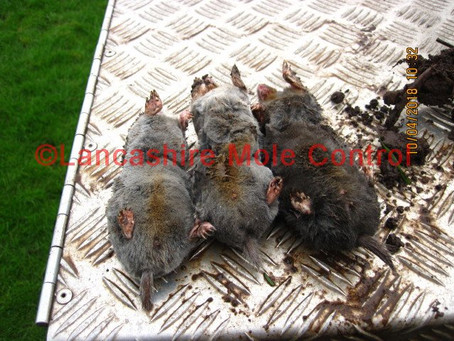 Silver Grey Moles