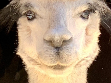 Pandemic Day Trip: Alpaca Lunch, You Bring the Wine