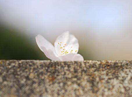 桜の佇まい