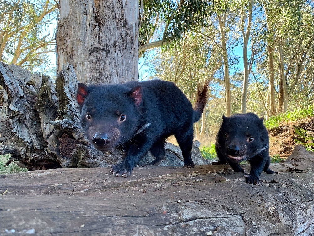 Demônios-da-tasmânia